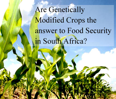 gm food harmful or helpful Genetically modified (gm) foods contain at least one ingredient coming from a  plant with an altered genetic composition genetic modification.
